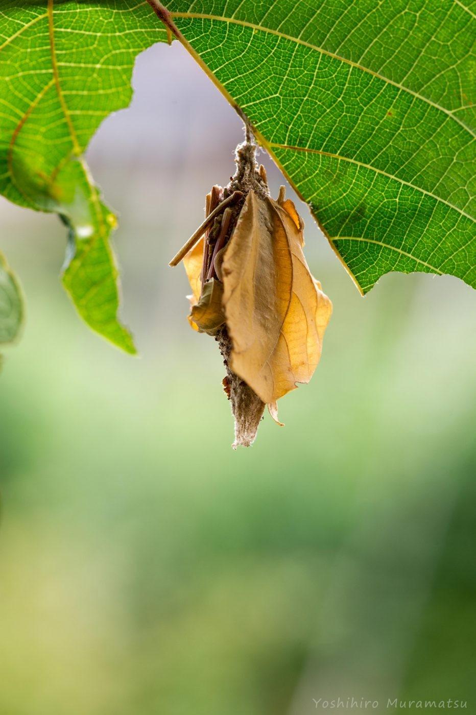オオミノガのミノの写真