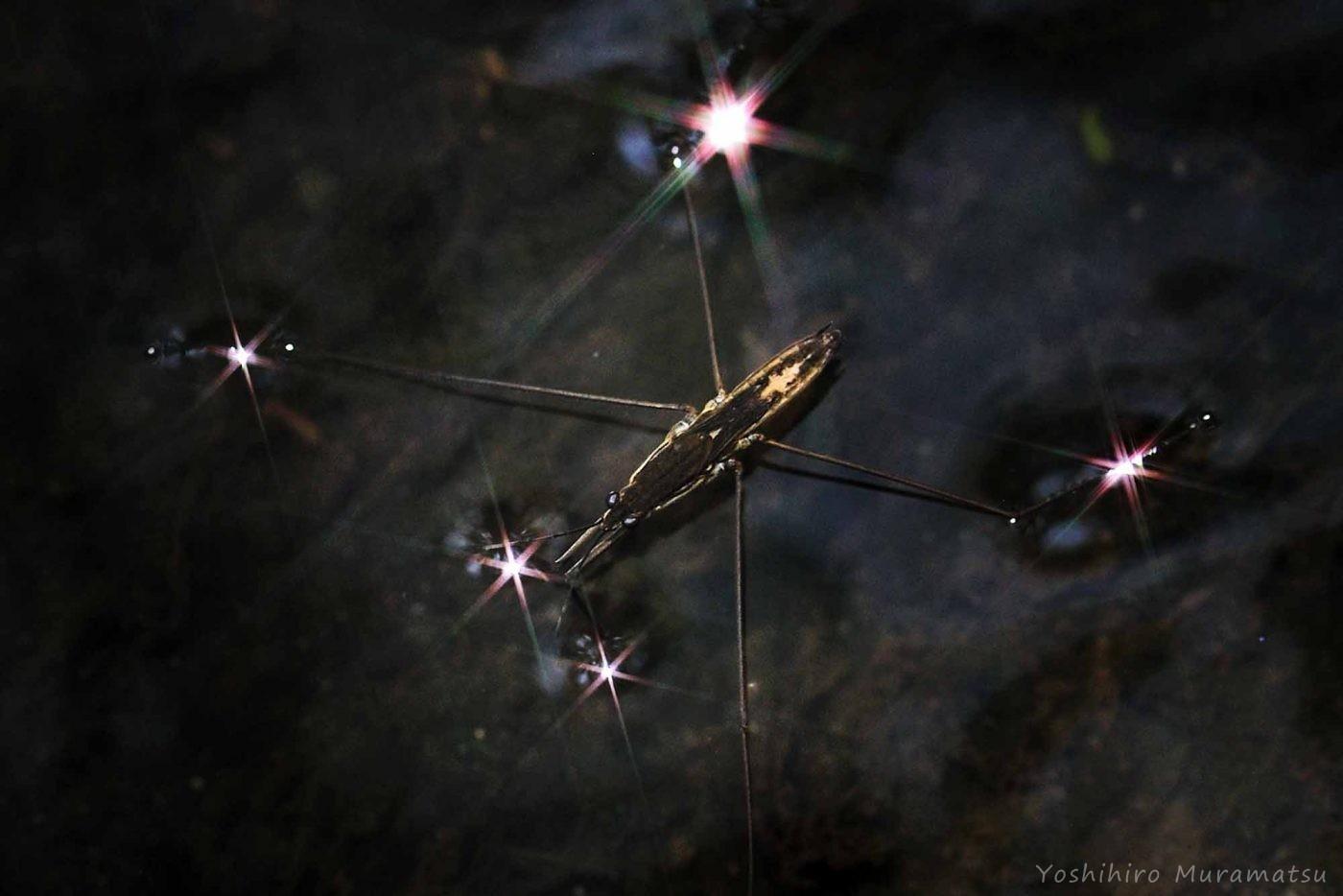アメンボ(ナミアメンボ)の写真