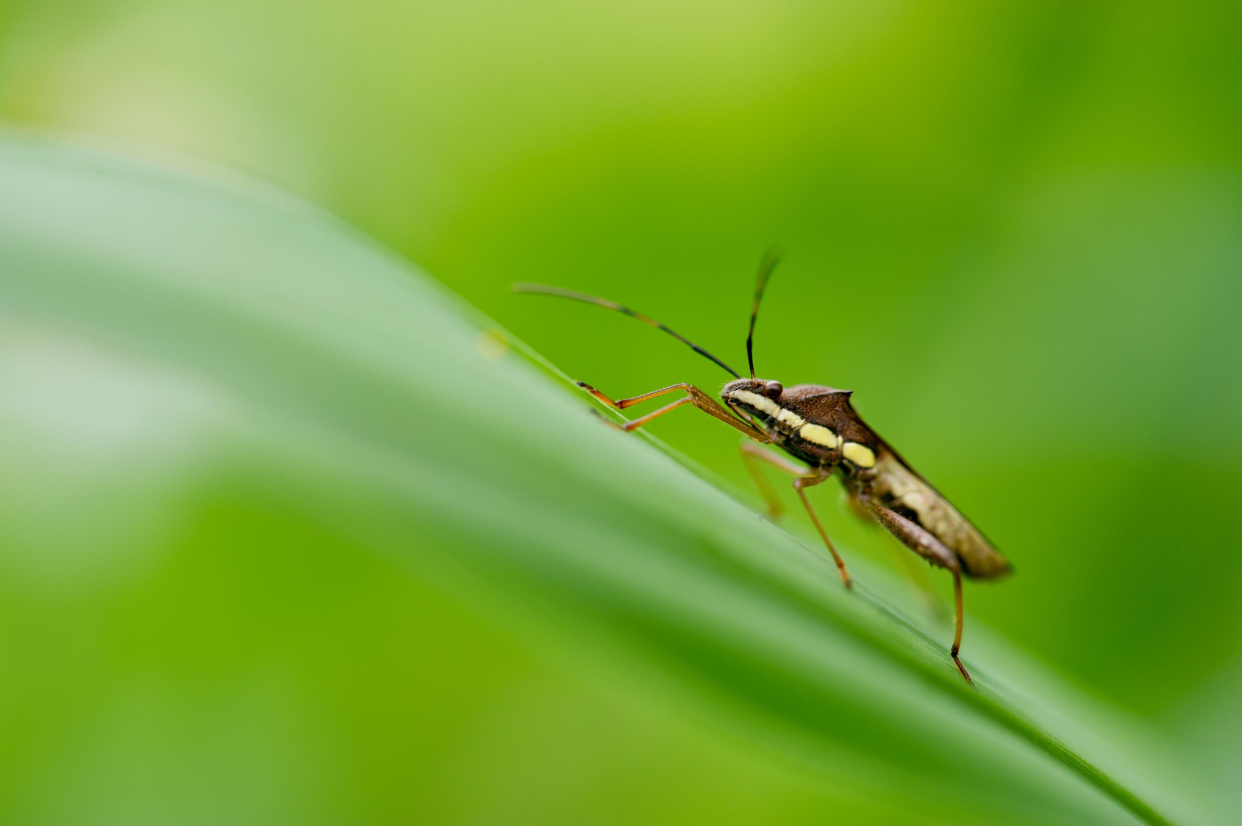 キスジホソヘリカメムシの写真