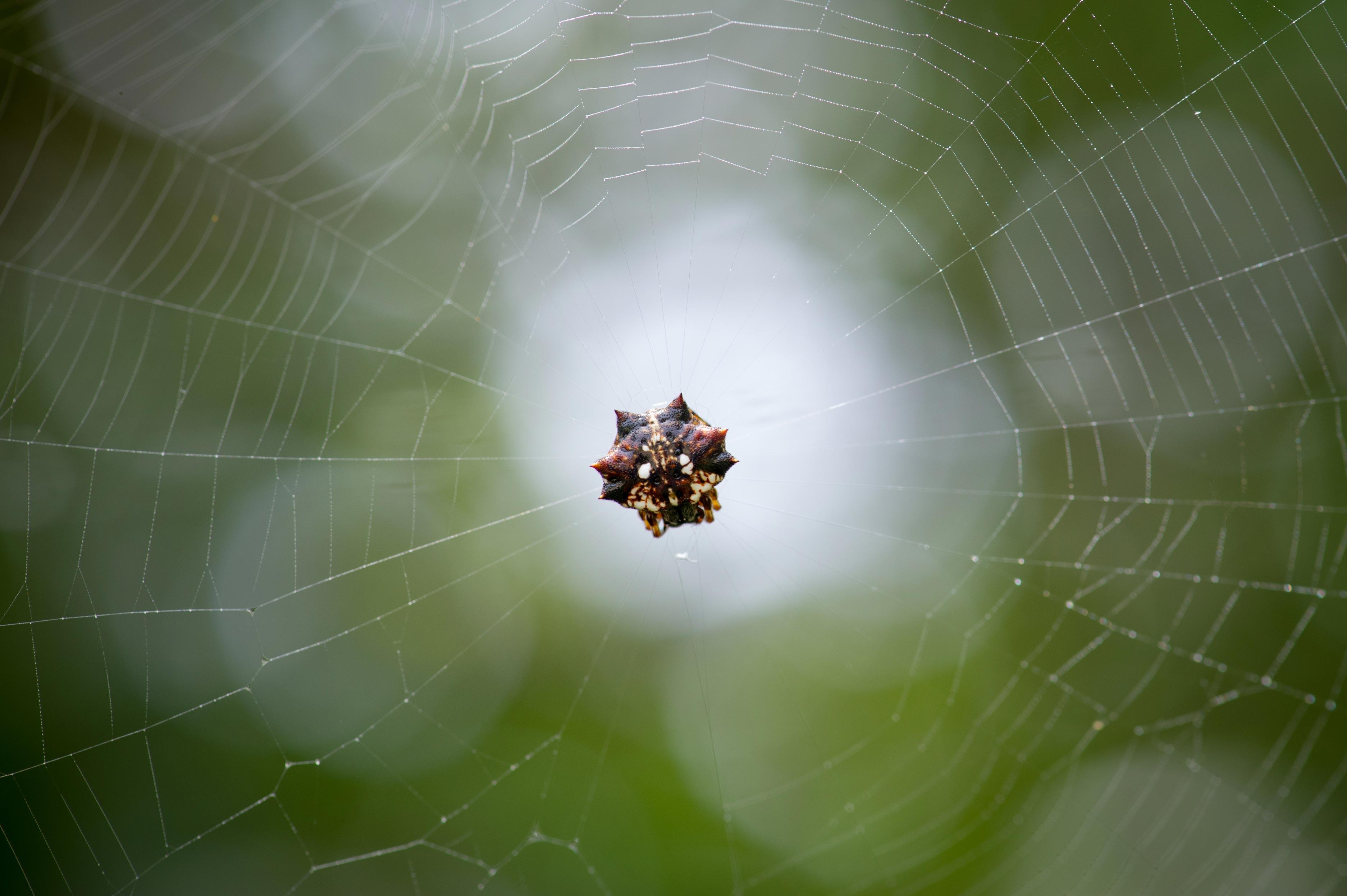 チブサトゲグモの写真