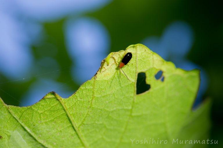 ヒメクロウリハムシの写真
