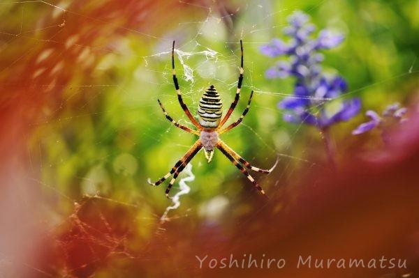 ナガコガネグモの写真