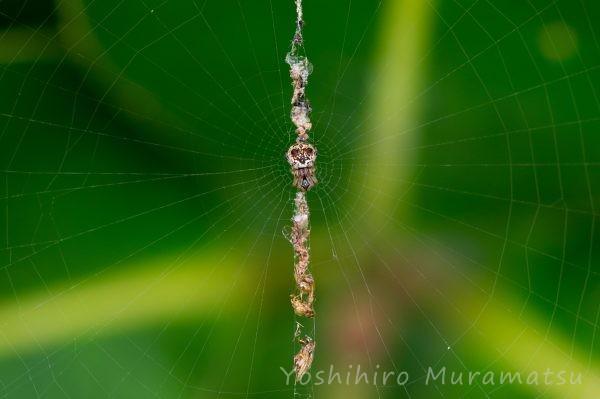 トゲゴミグモの写真