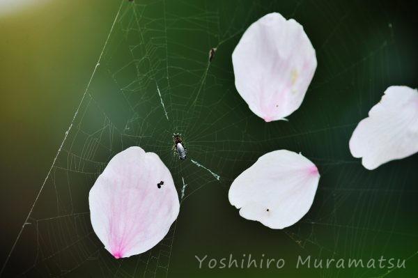 ギンメッキゴミグモの写真