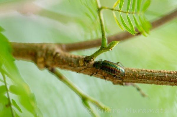 ヒメニシキキマワリモドキの写真
