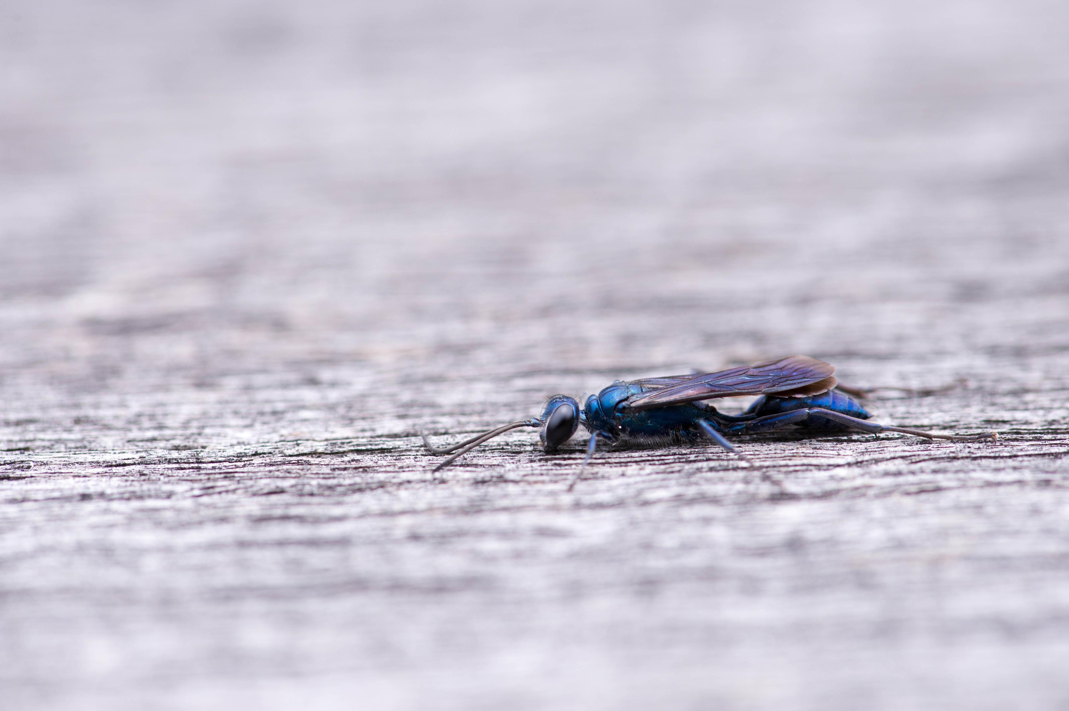 ルリジガバチの写真