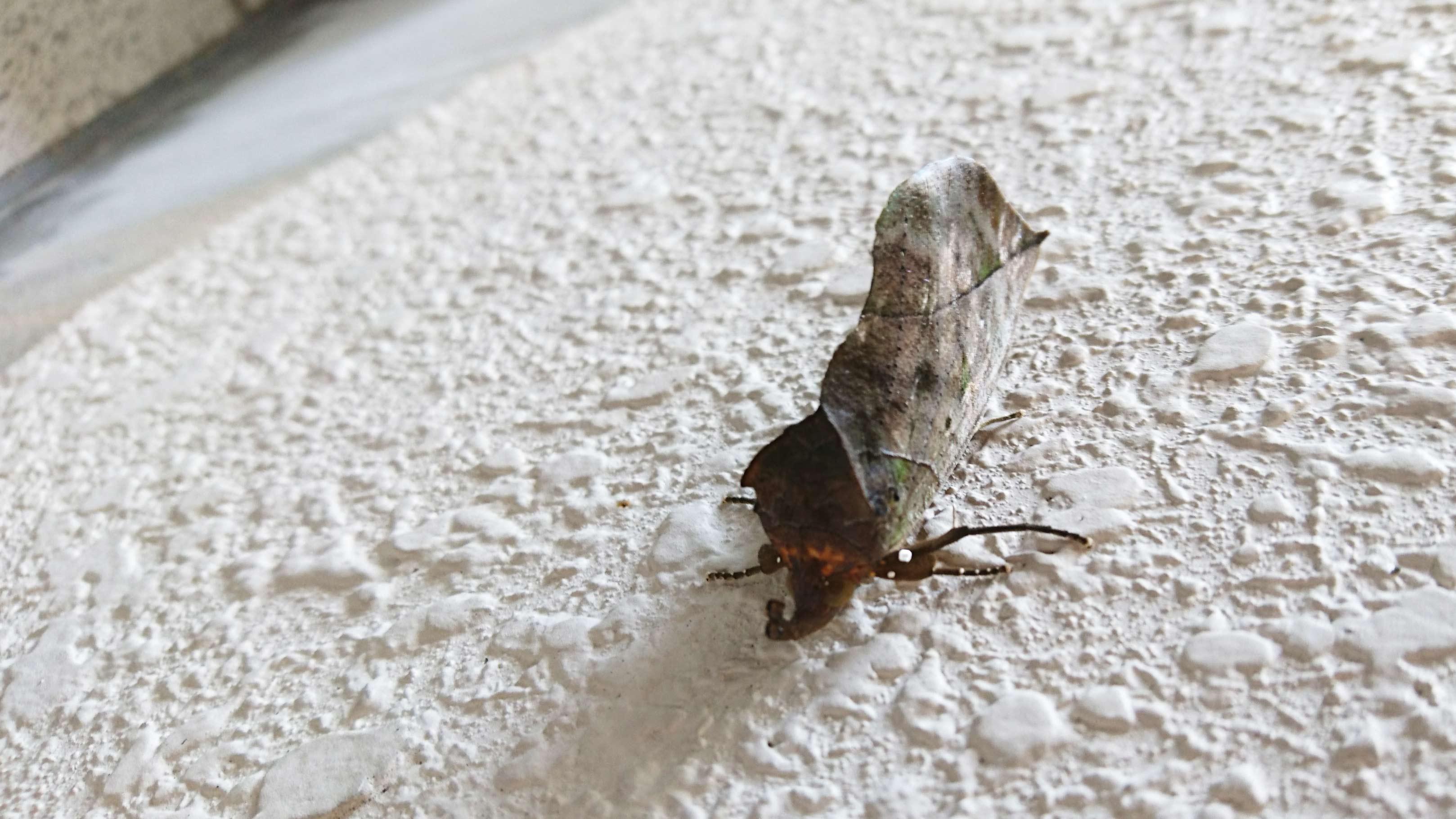アケビコノハの写真