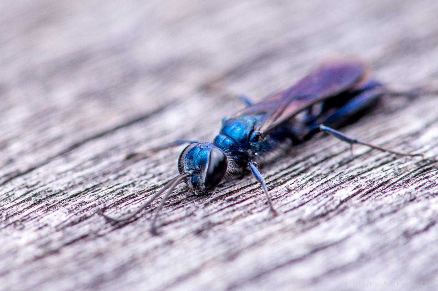 ヤマトルリジガバチの写真