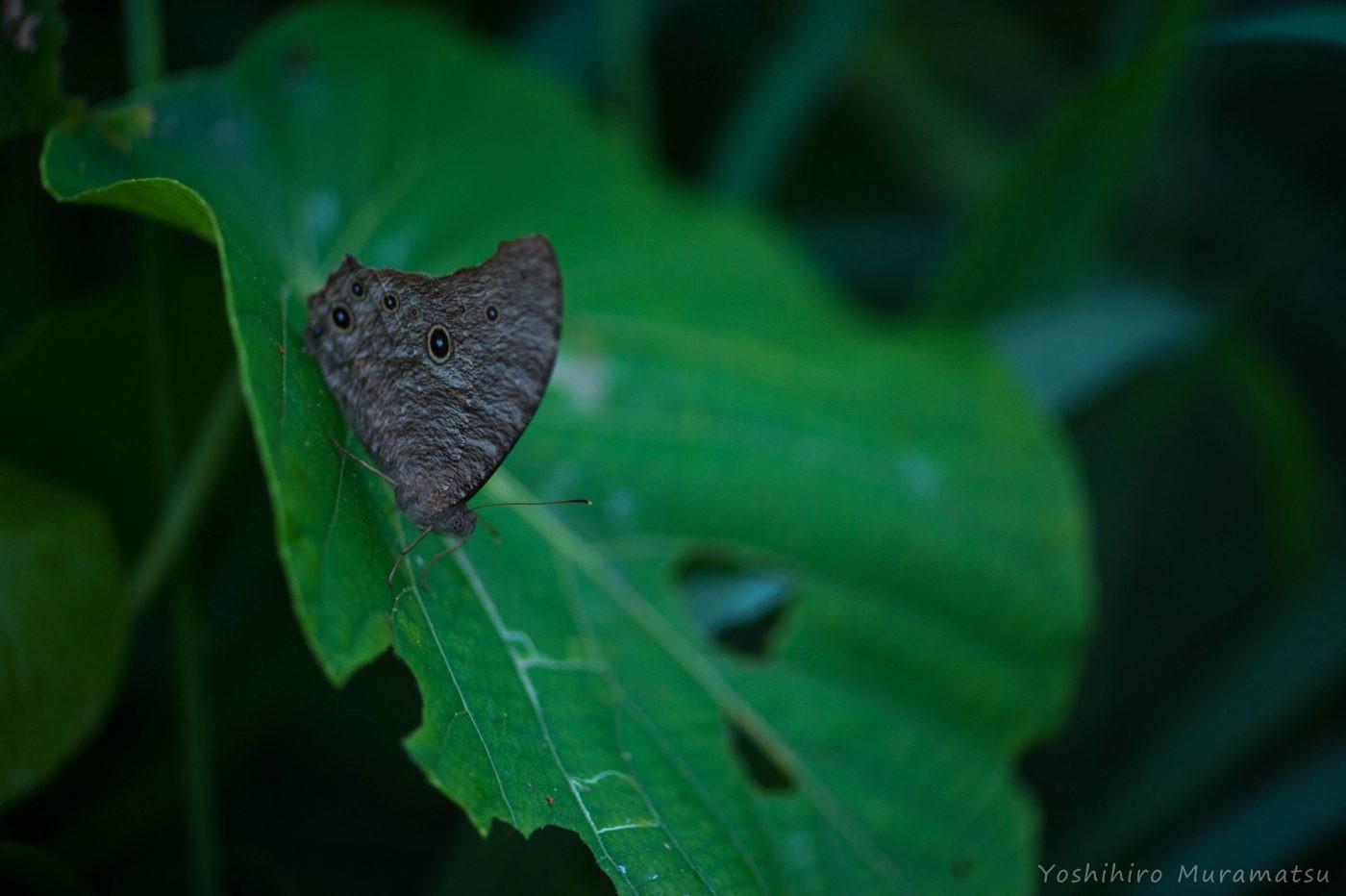 ウスイロコノマチョウの写真
