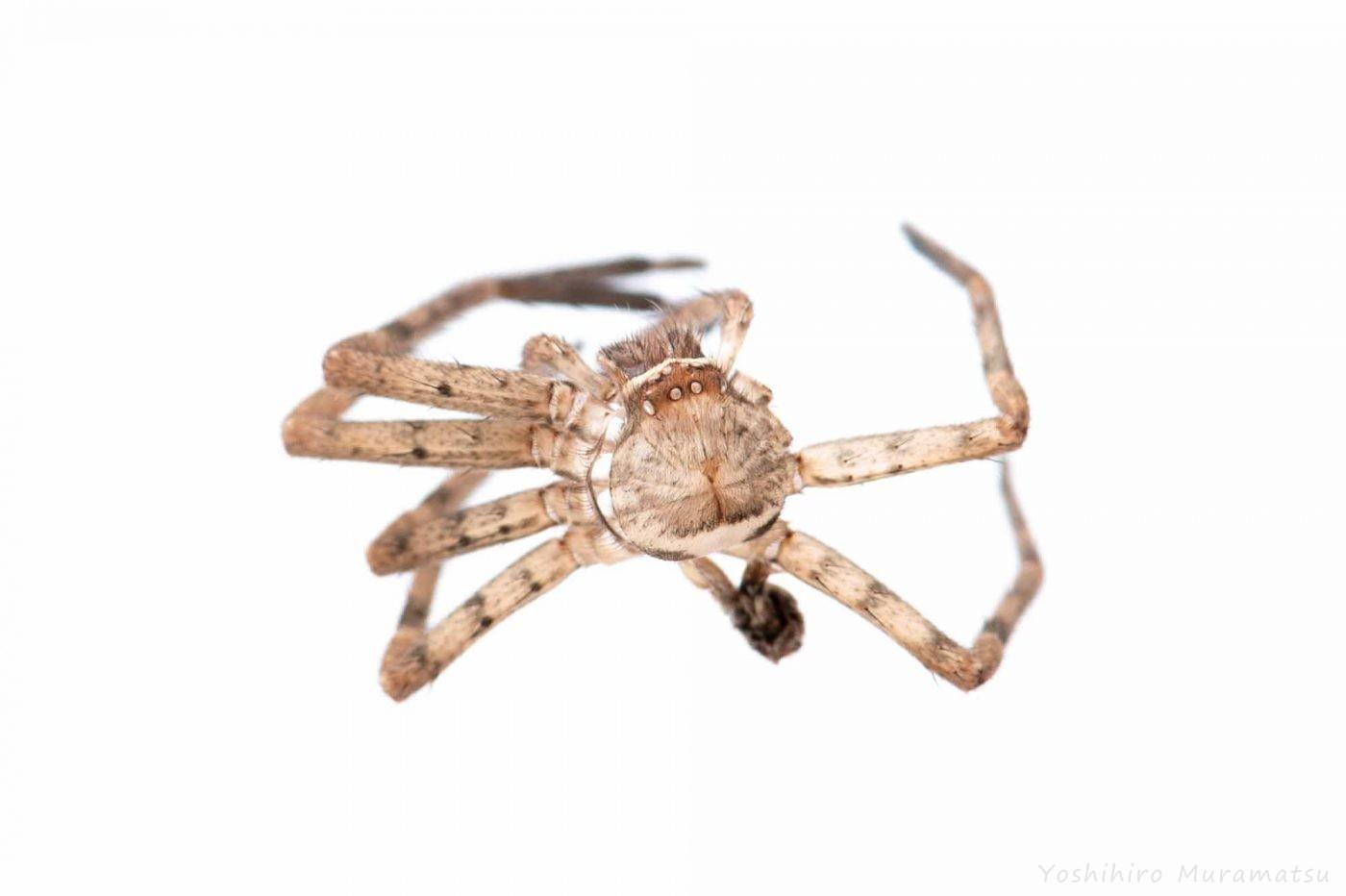 アシダカグモの脱皮の写真