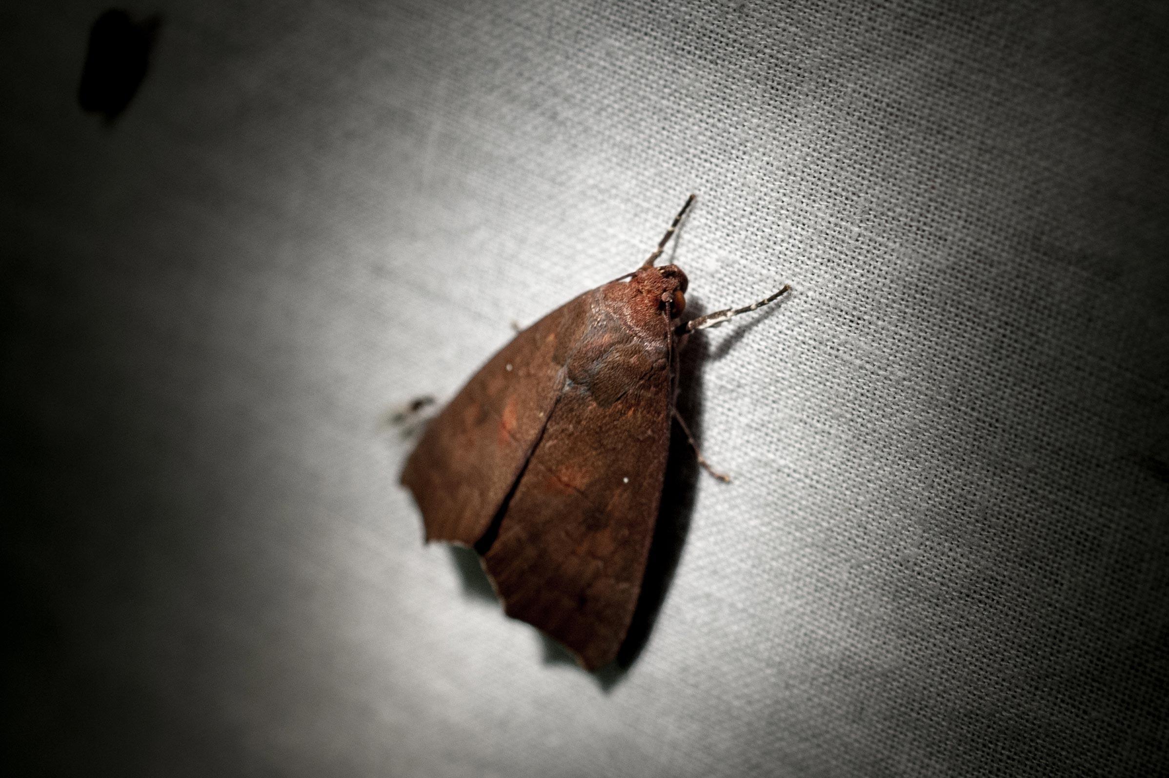 オキナワオオアカキリバの写真