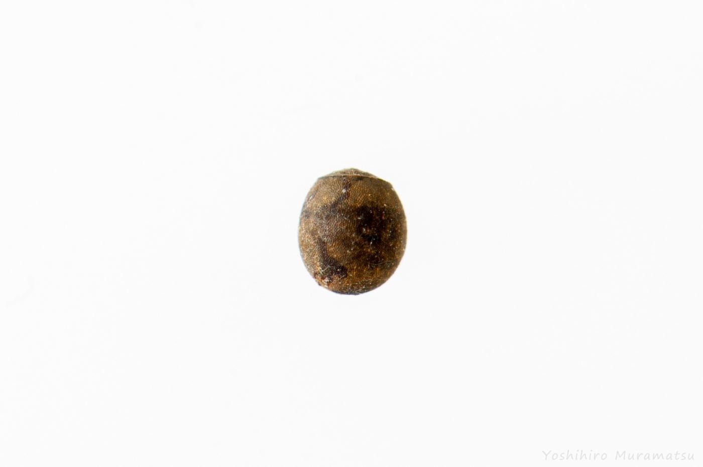 トゲナナフシの卵