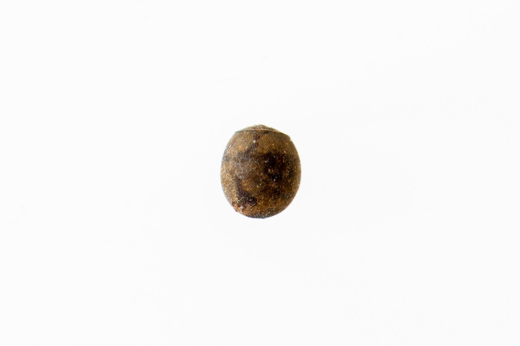 トゲナナフシの卵の写真