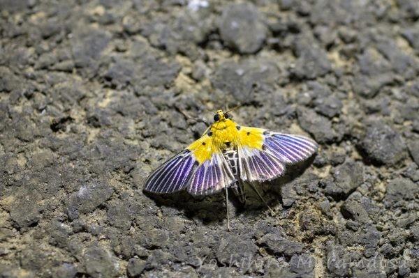 ハグルマノメイガの写真