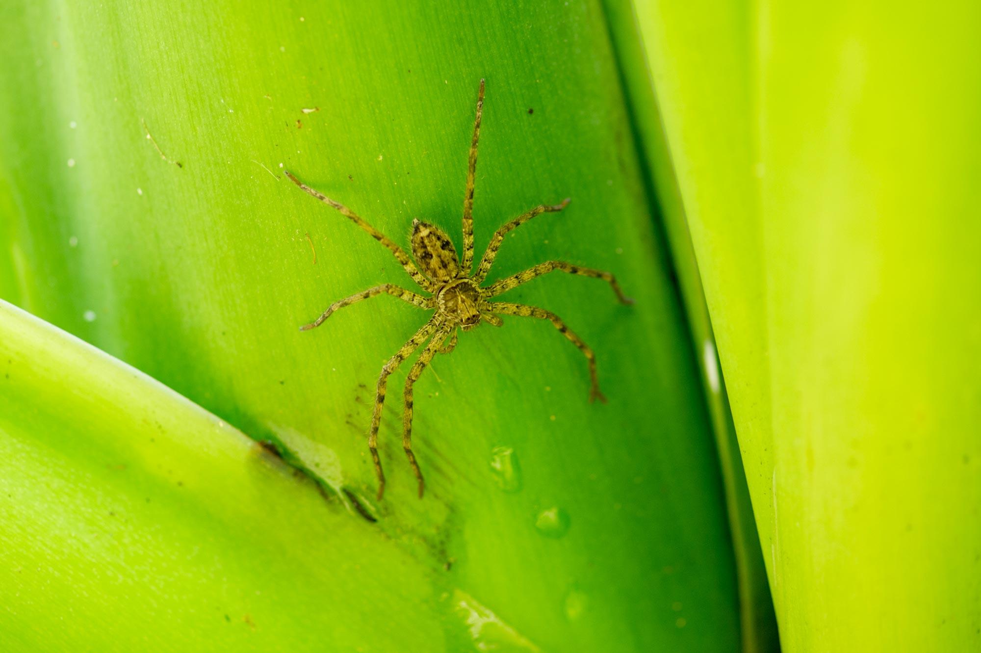 アシダカグモの写真