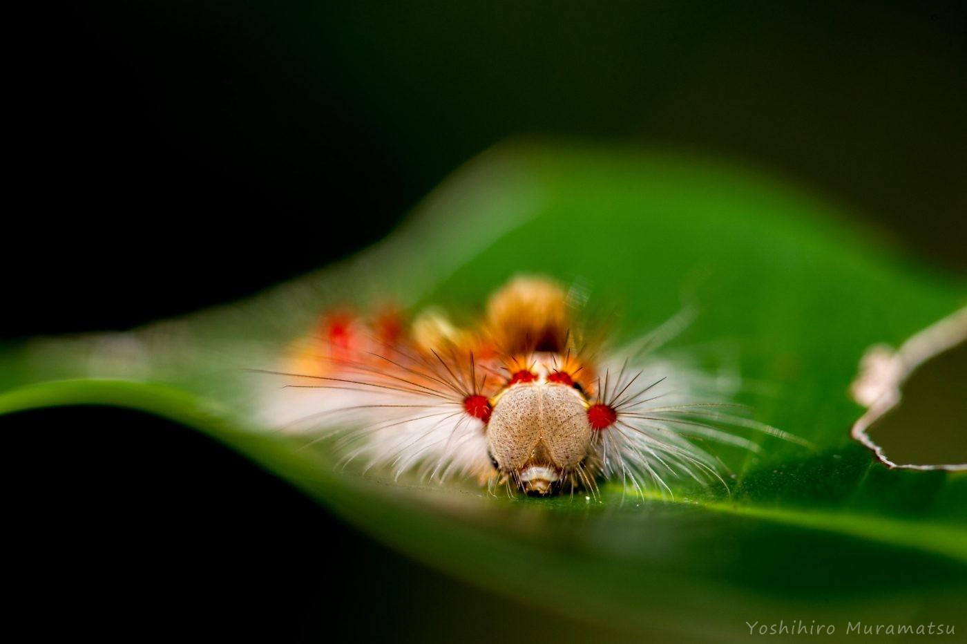 スキバドクガの幼虫の写真