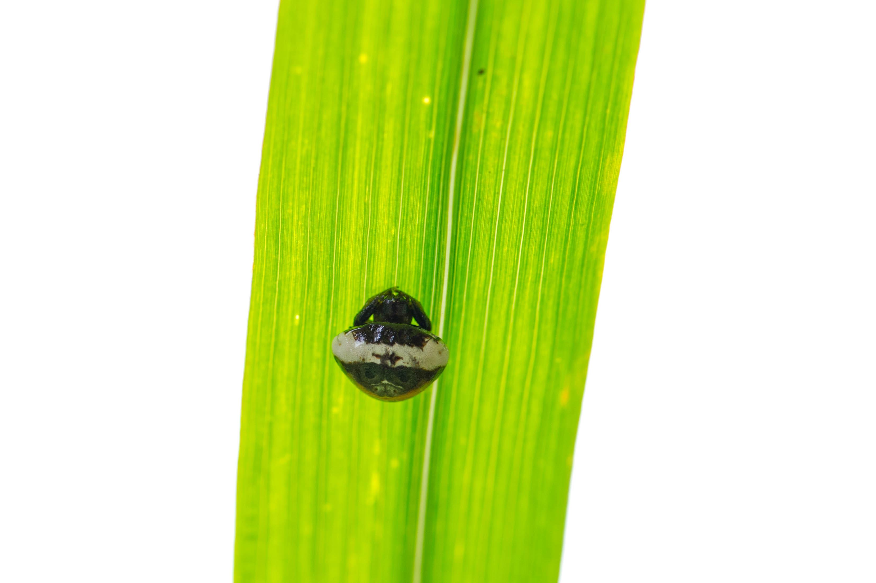 シロオビトリノフンダマシの写真