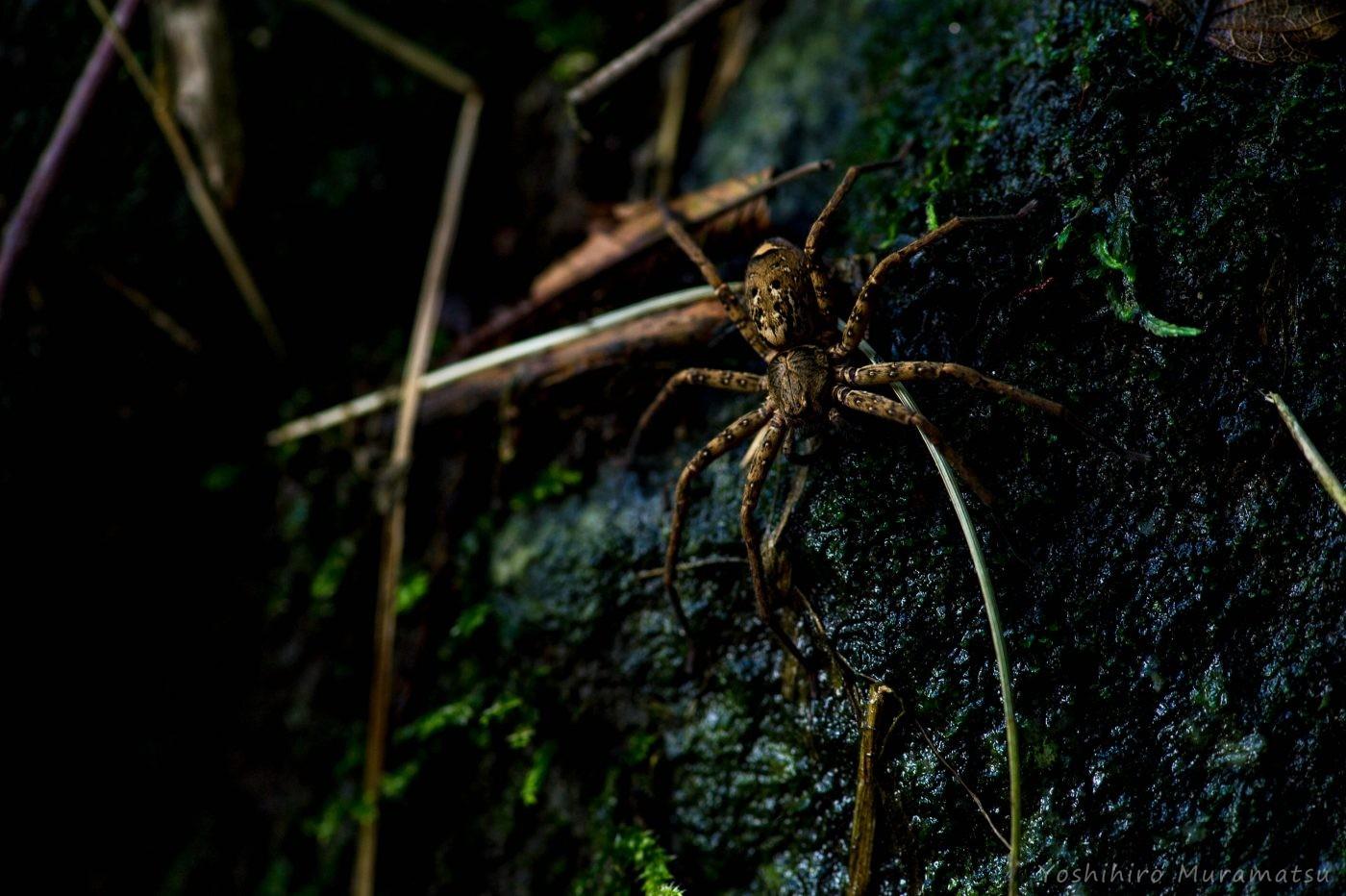 コアシダカグモの写真