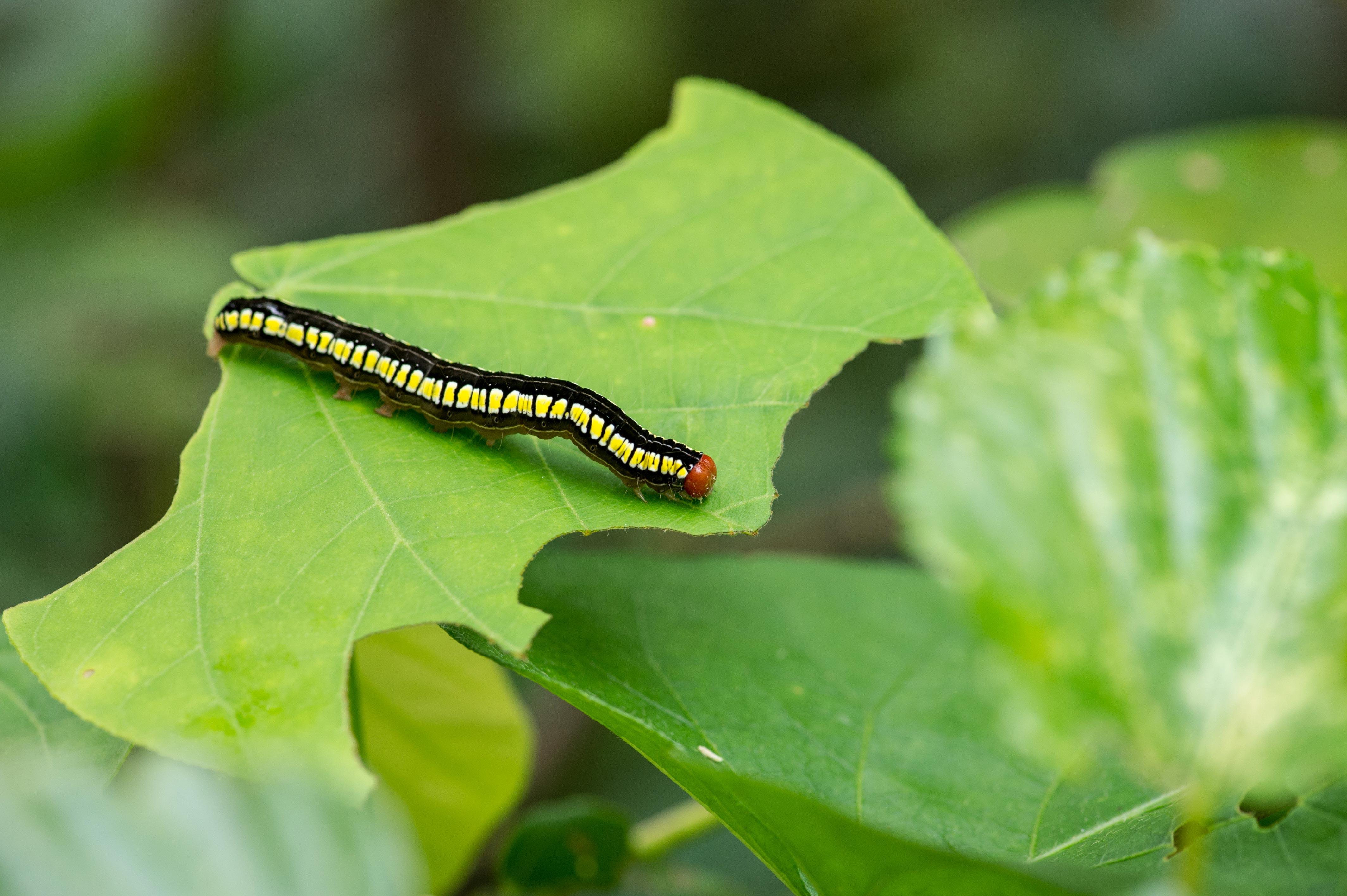 カバイロオオアカキリバの幼虫の写真
