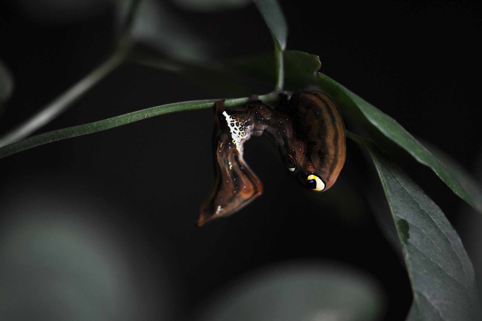 アケビコノハの幼虫