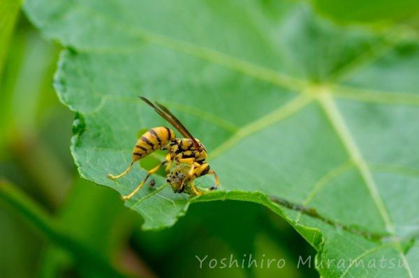 ヤエヤマアシナガバチの写真