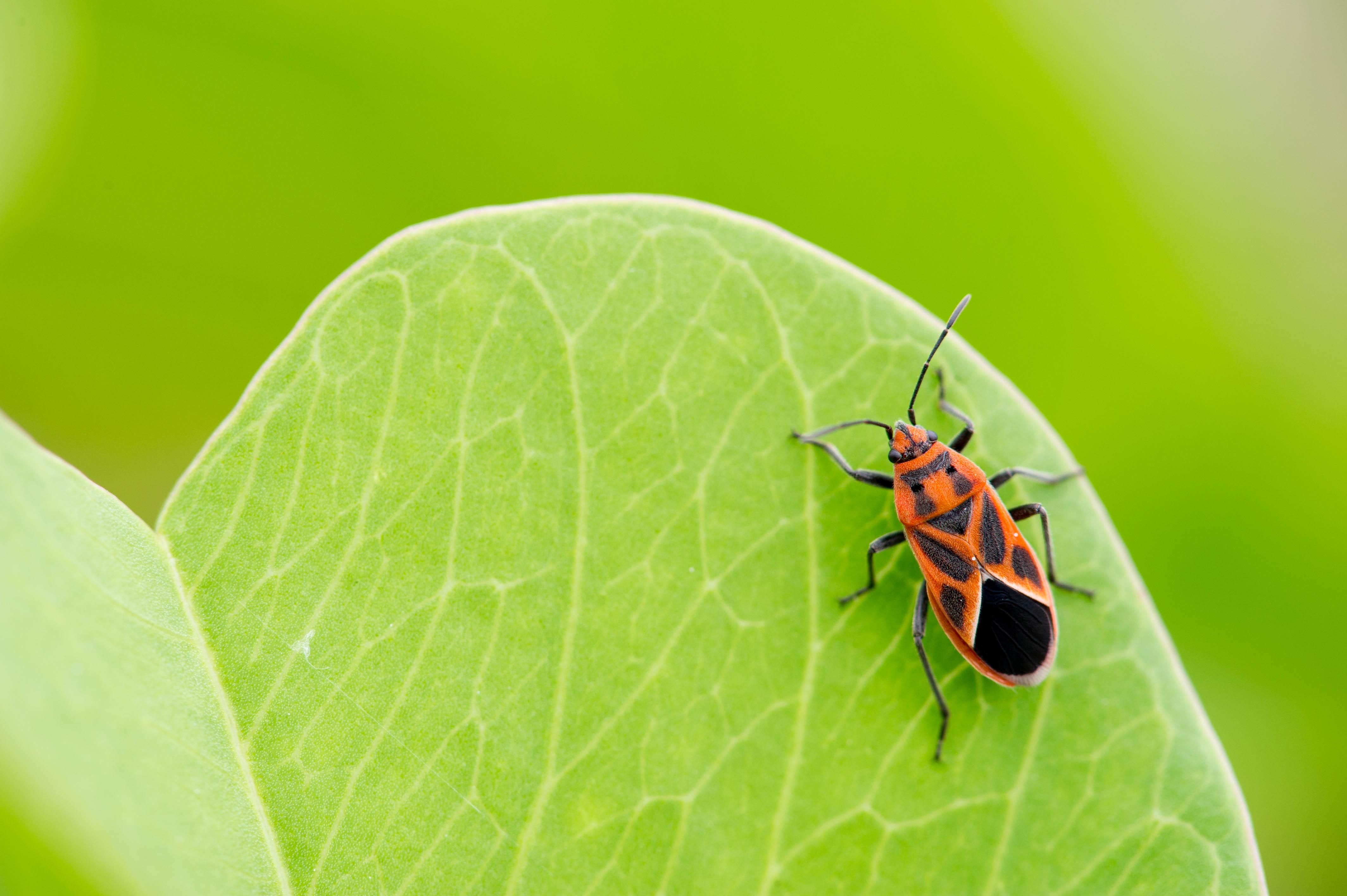 ヒメマダラナガカメムシの写真