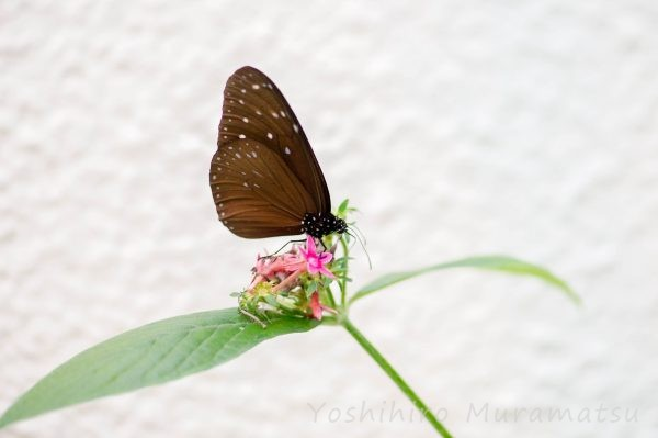 台湾ツマムラサキマダラ (2)