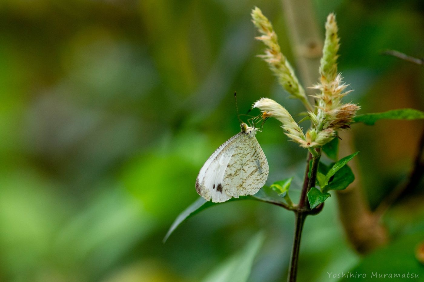 台湾クロテンシロチョウ
