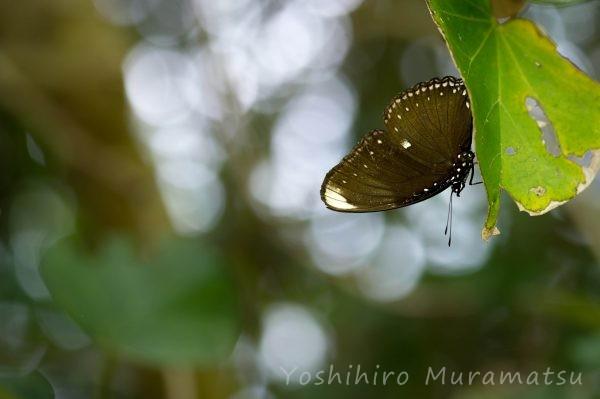 ヤエヤマムラサキの写真