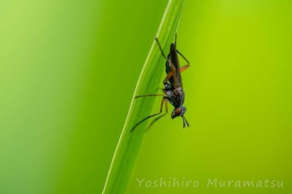 ヒゲナガヤチバエの写真