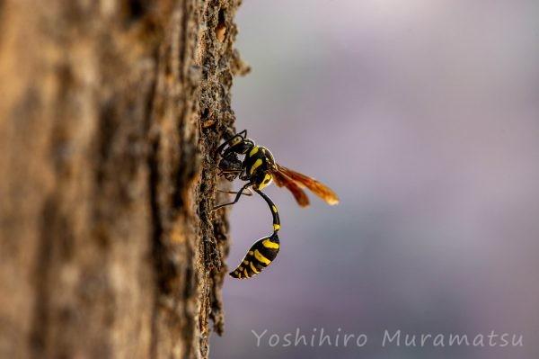 台湾のハチの仲間の写真
