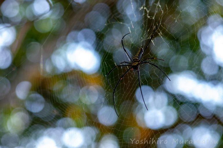 台湾のオオジョロウグモの写真