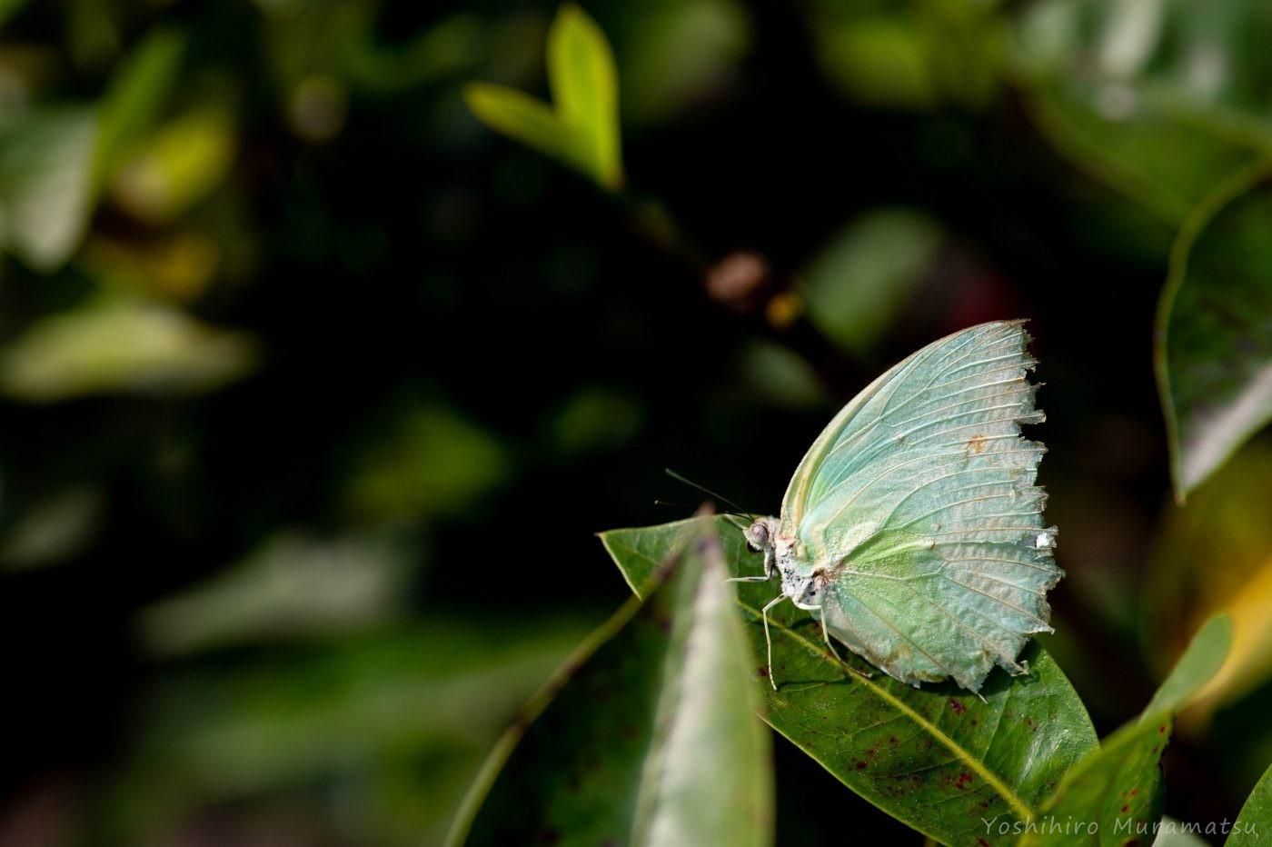 台湾ウスキシロチョウの写真