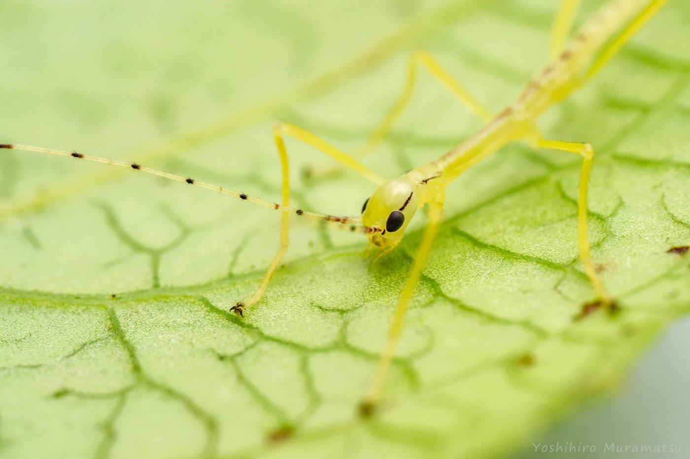 シラキトビナナフシの幼虫の写真