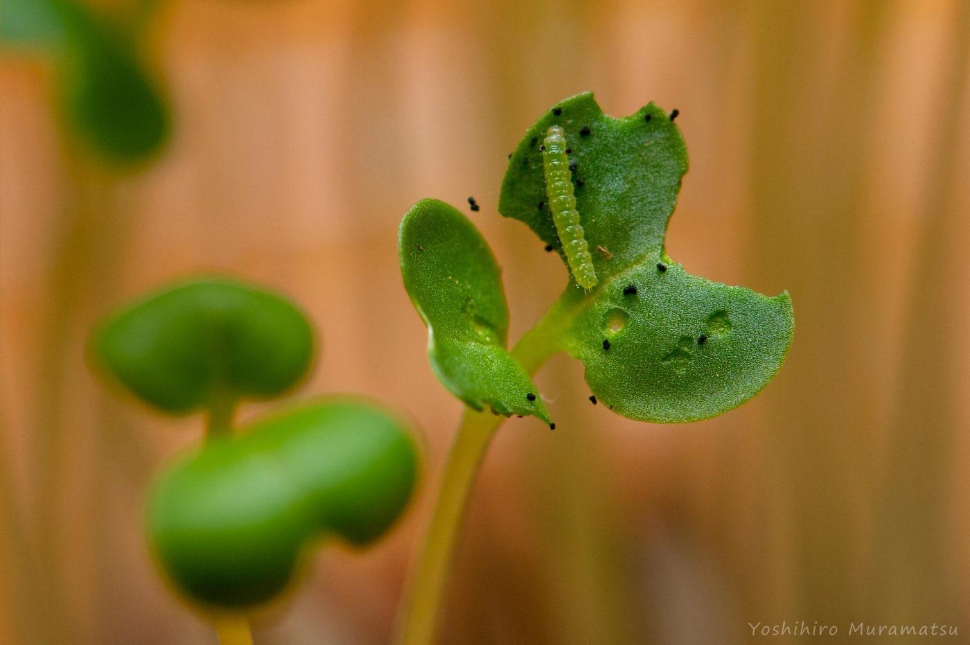 モンシロチョウの幼虫1齢
