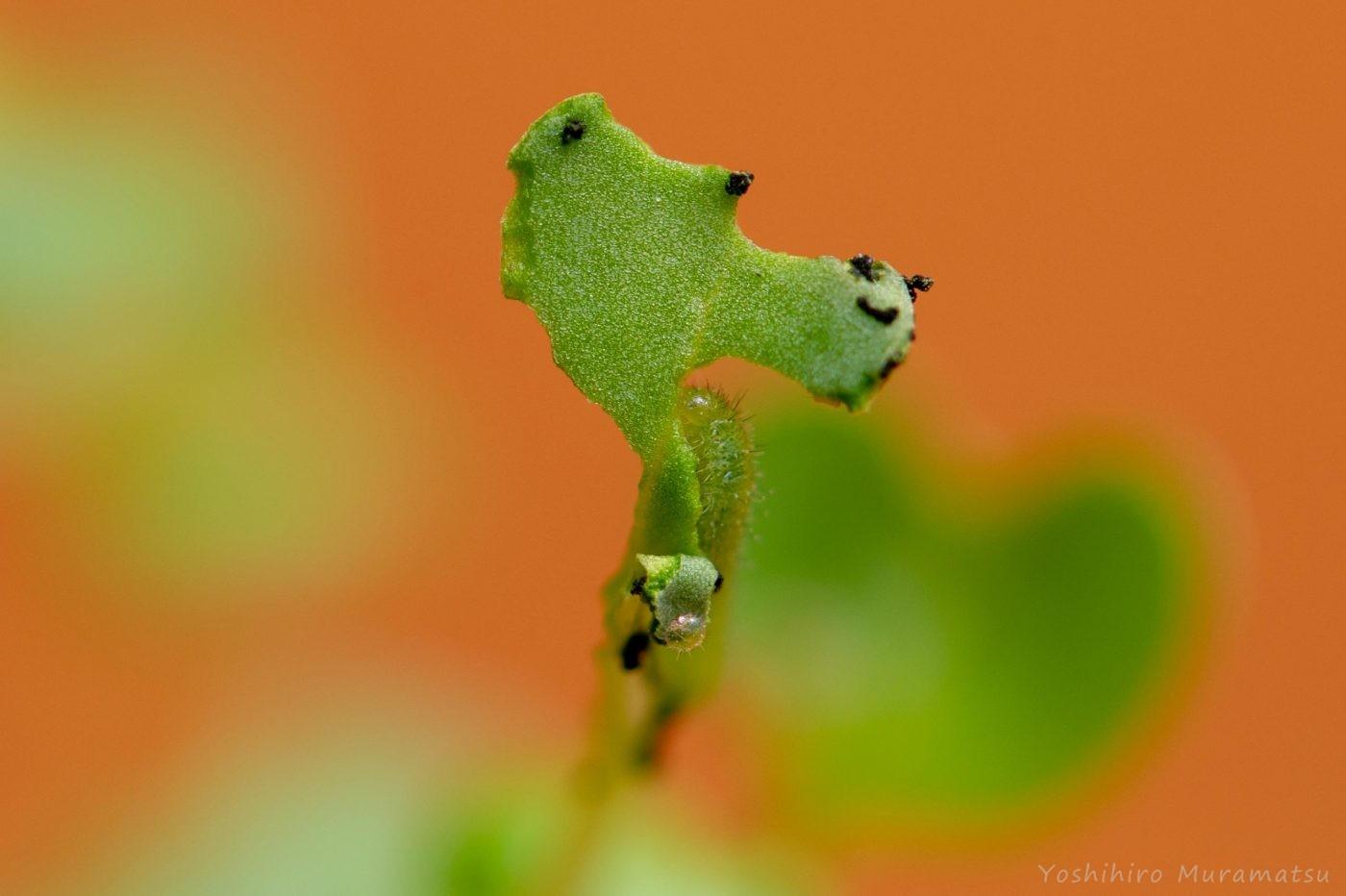 モンシロチョウの幼虫2齢