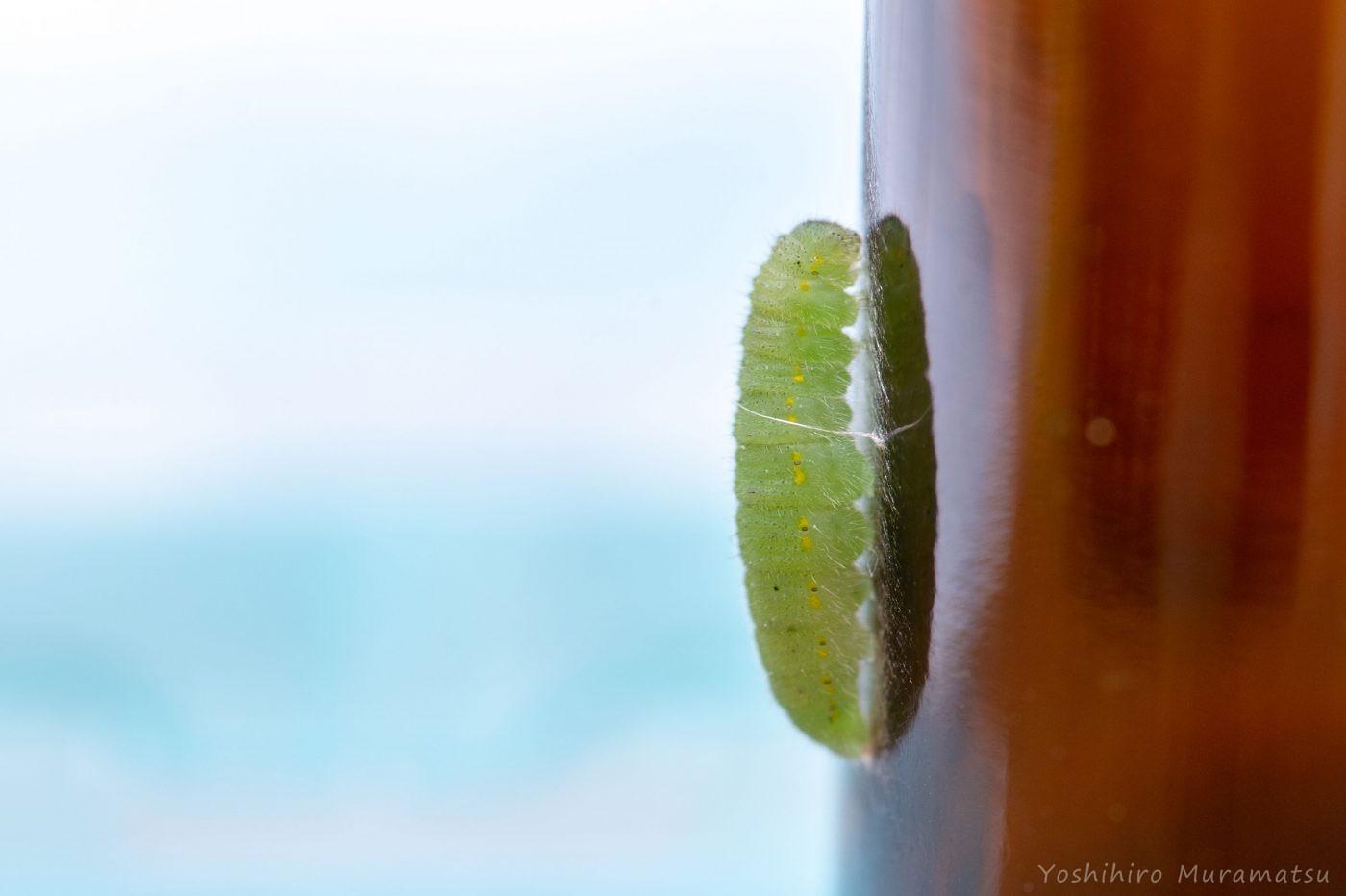 モンシロチョウの前蛹