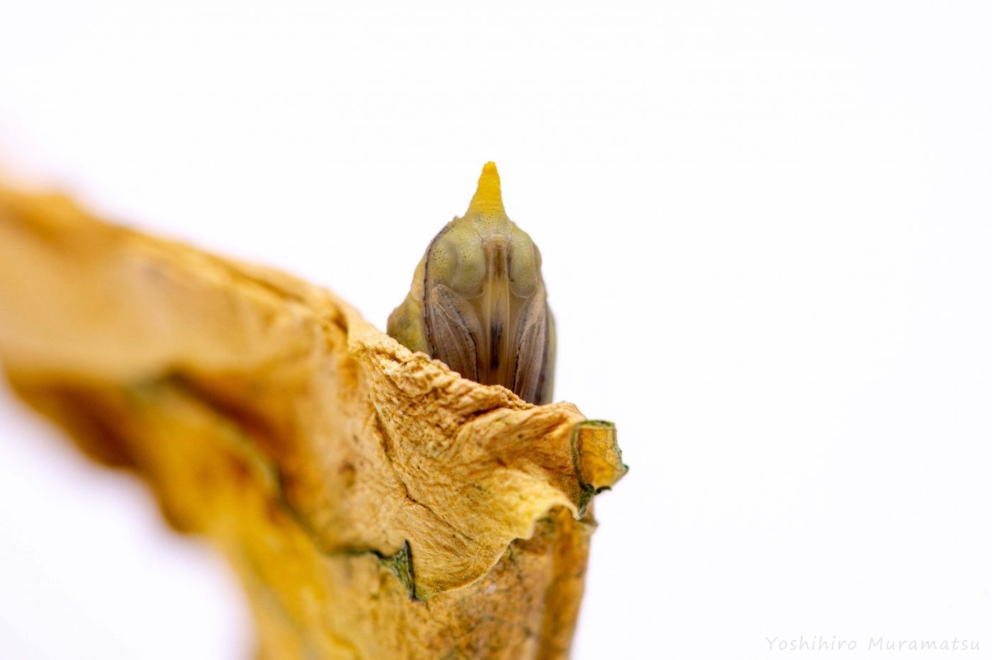 モンシロチョウのサナギ