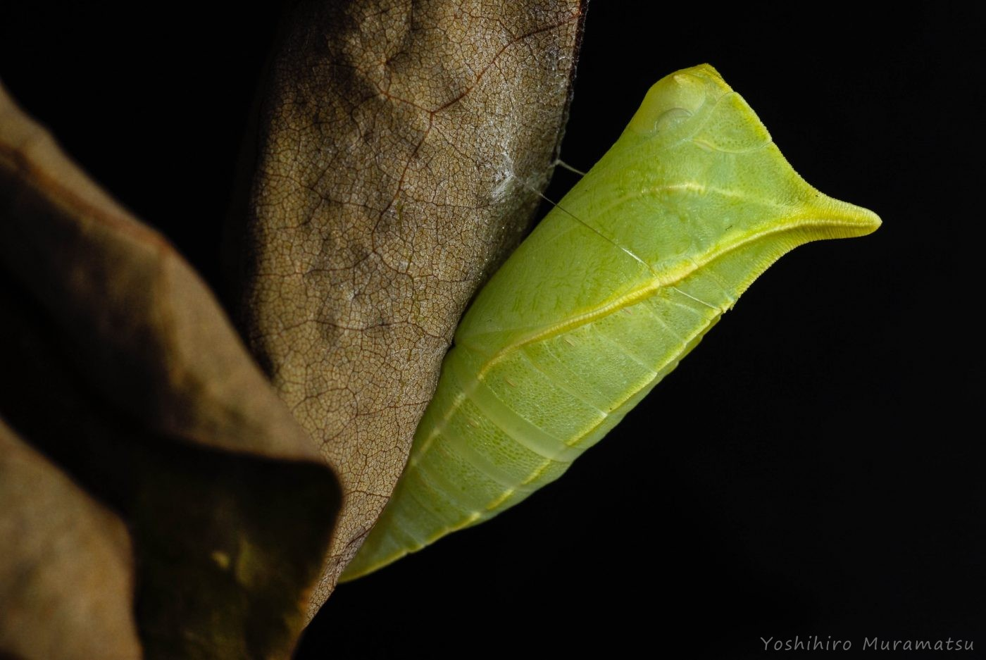 アオスジアゲハ蛹
