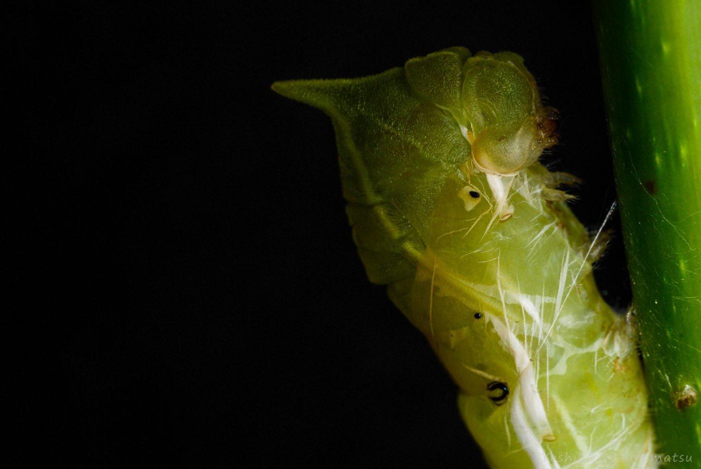アオスジアゲハ蛹化