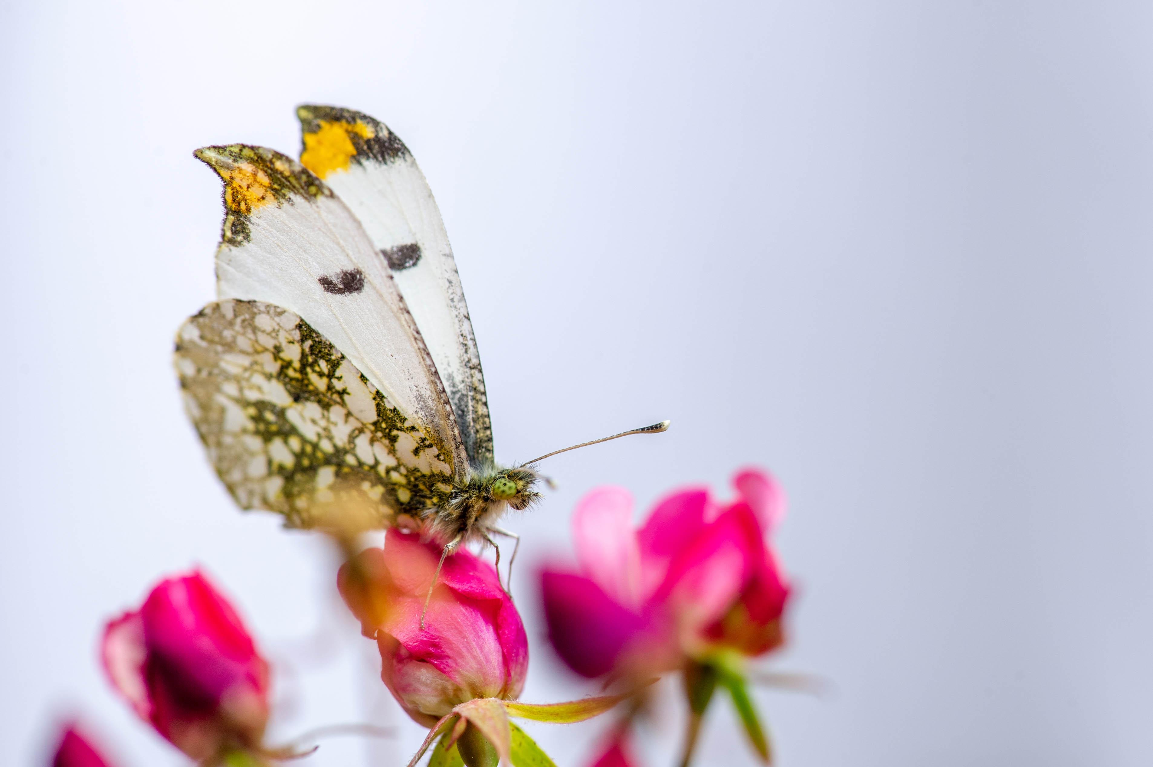 ツマキチョウのオス