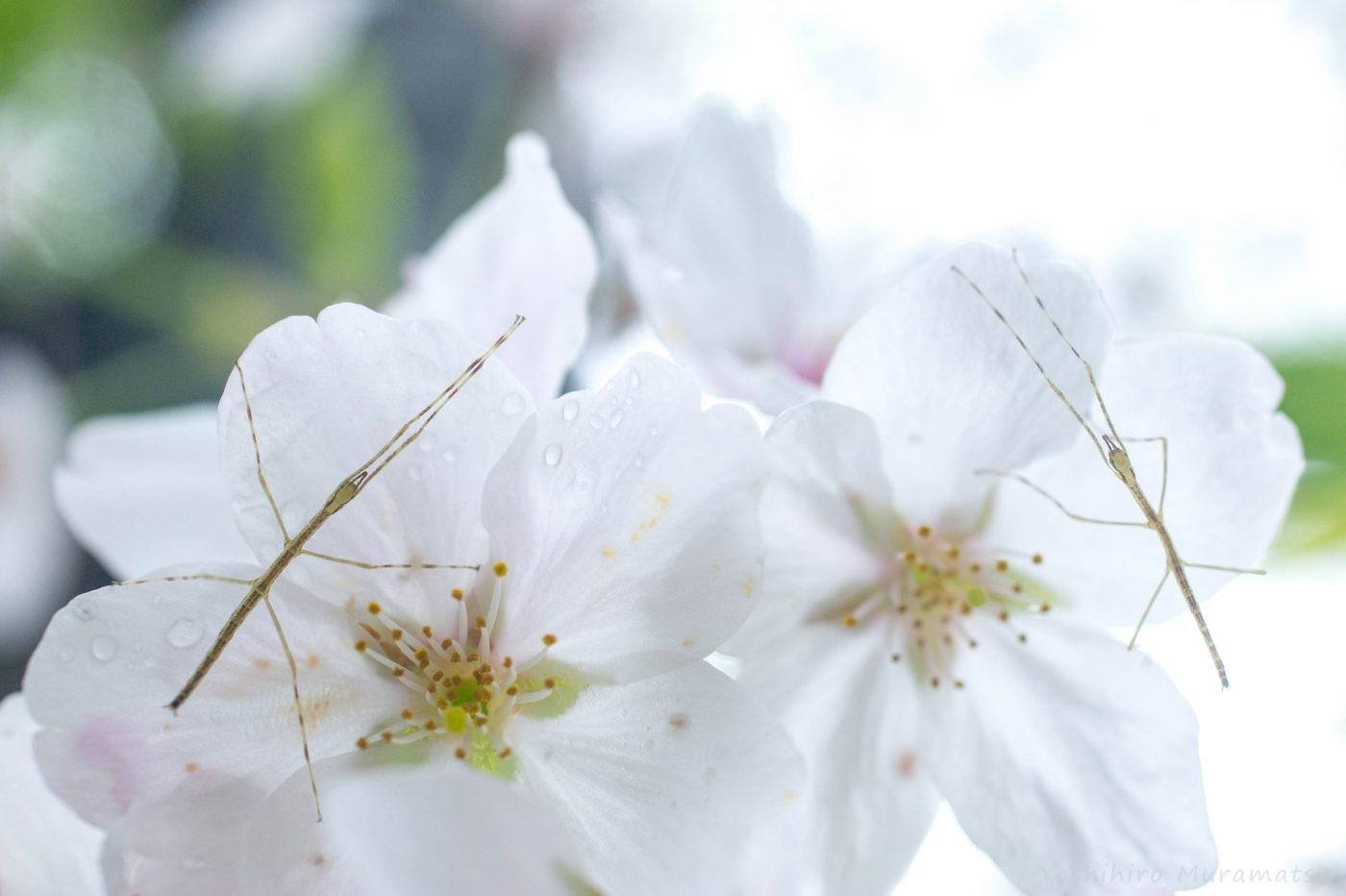 桜ナナフシモドキ