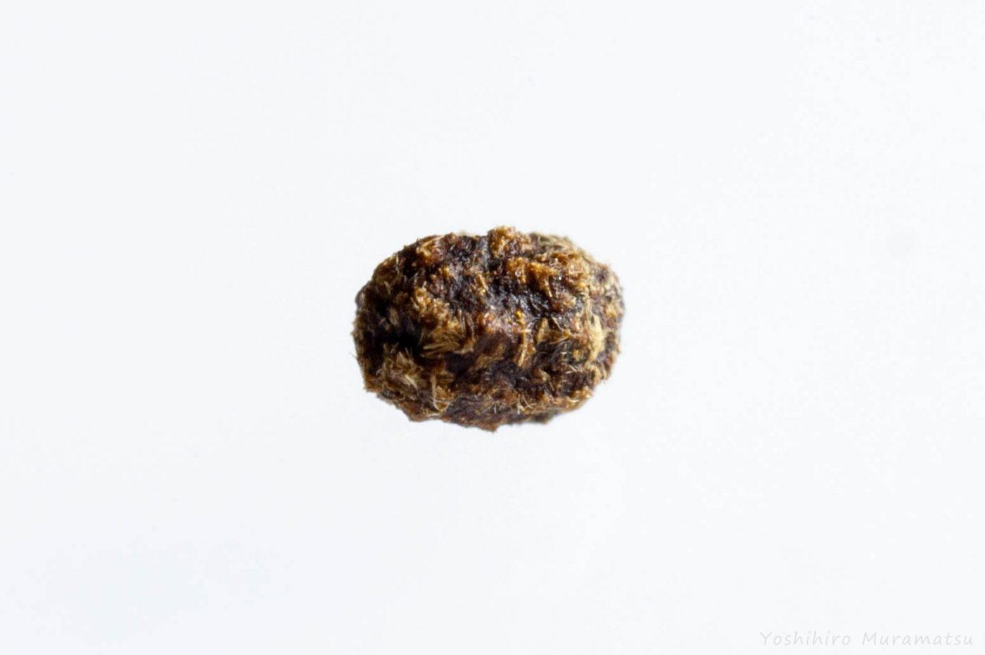 クロボシツツハムシ 卵