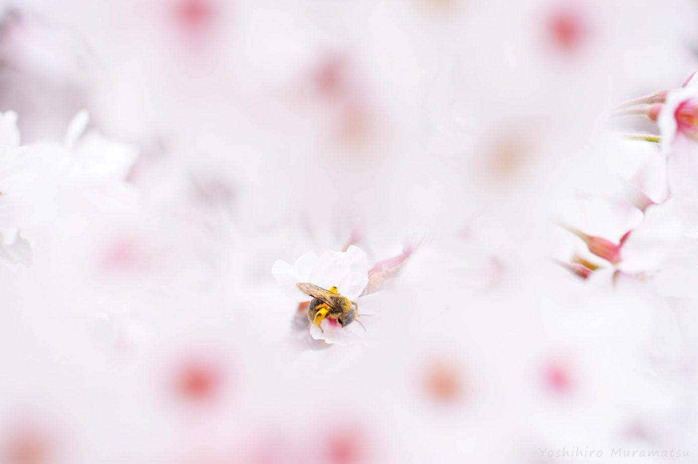 ヒメハナバチの一種