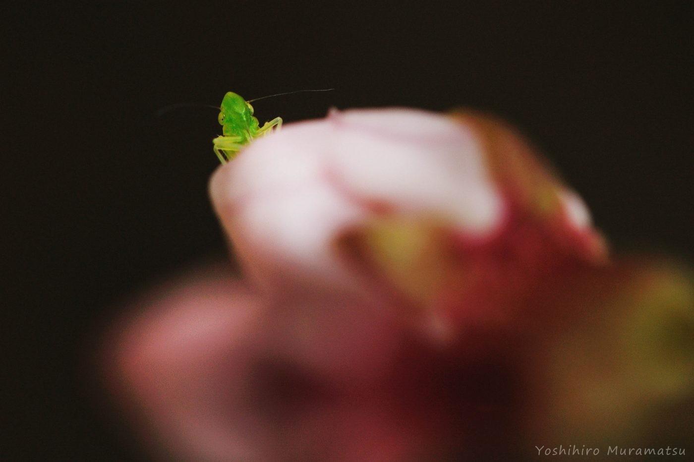 桜ヨコバイの一種