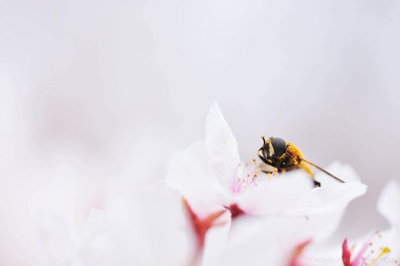 桜アシブトハナアブ