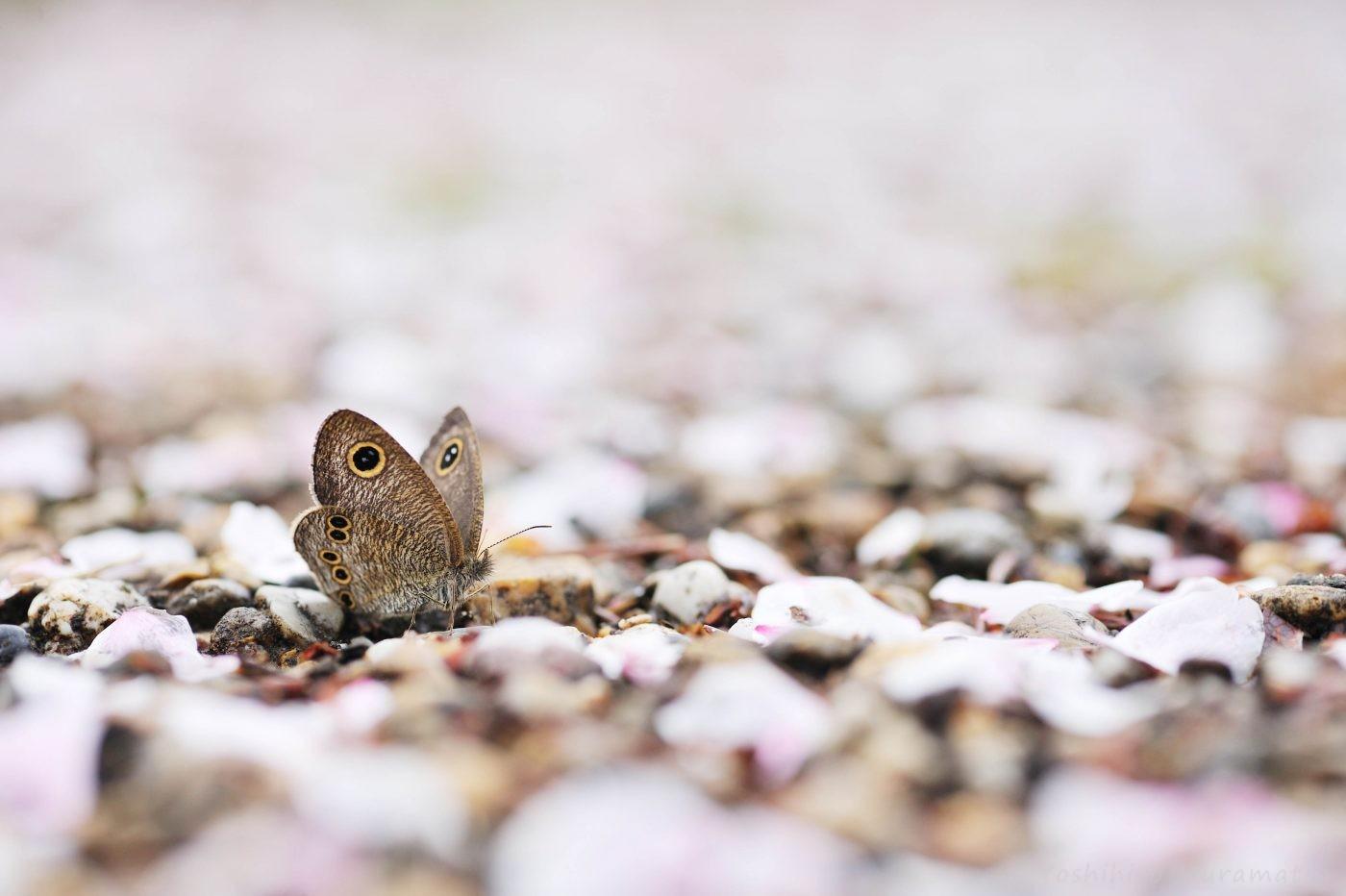 桜ヒメウラナミジャノメ