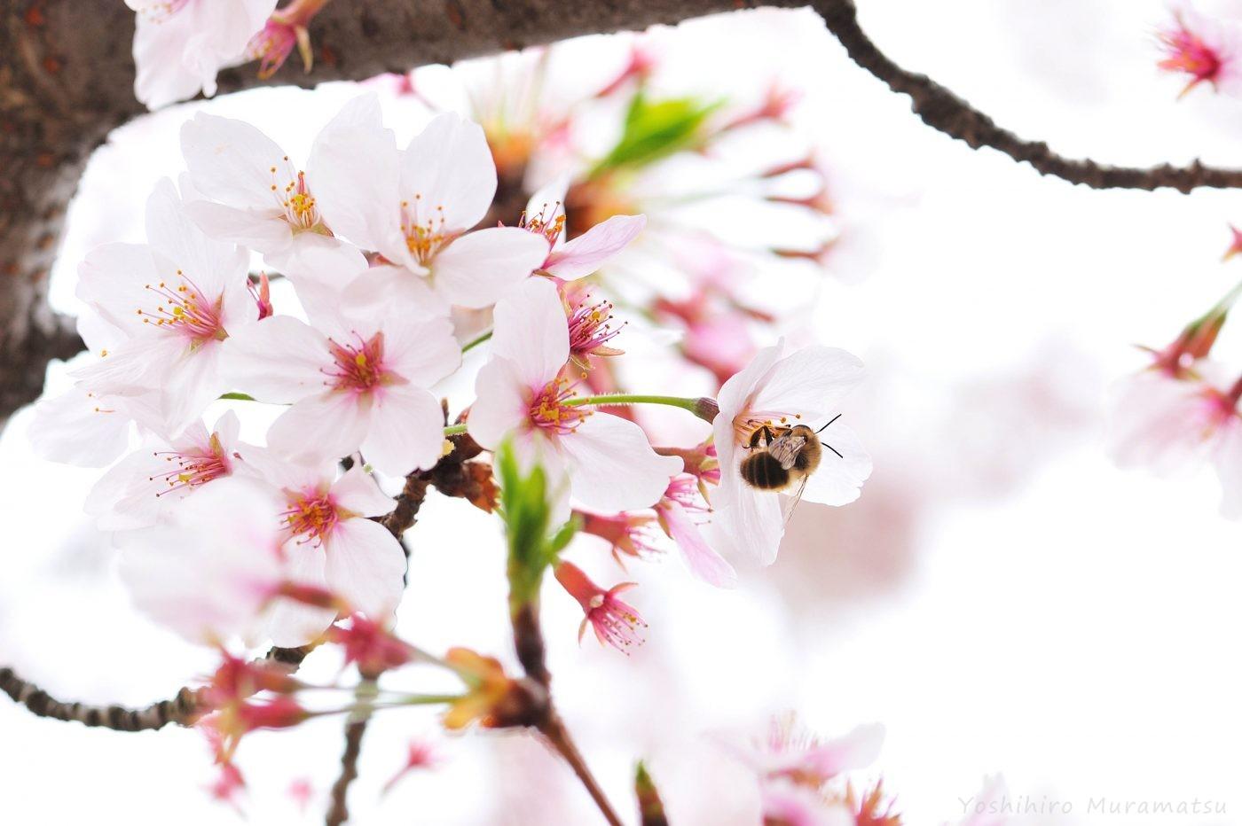 桜ヒゲナガバチの一種