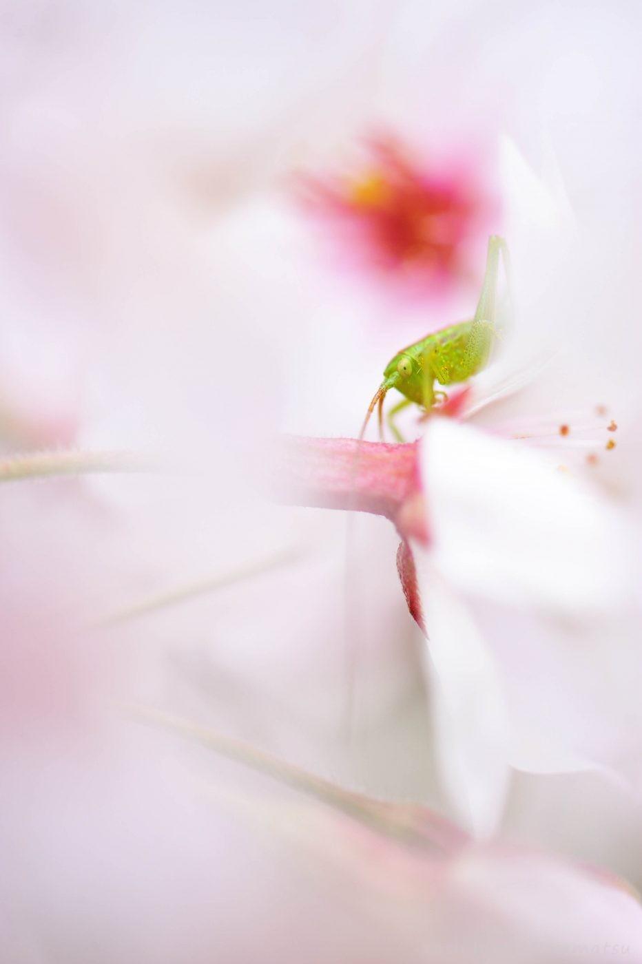 桜ヤブキリの一種