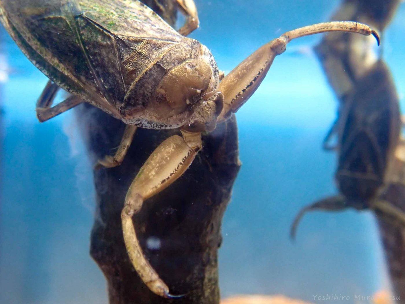 タガメ タガメ|水生昆虫の王者 |